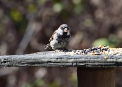 Sparrow (careth@2012) Tags: