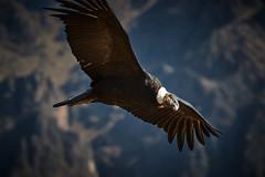 Condor (szeke) Tags: 2007 animal bird colca colcacanyon condor flying peru