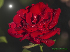 Dreaming in red (2) (teogera) Tags: olympus e1 tamron f3870210mm flowers roses red