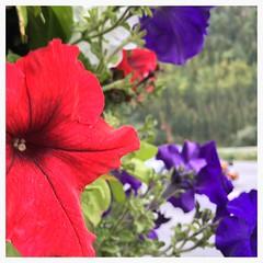 McKinley Chalet  flowers - HBW! (karma (Karen)) Tags: mckinleypark alaska mckinleychalet flowers petunias dof bokeh bokehwednesdays hbw