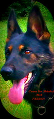 Farrah, pic monkey (oneandonly3) Tags: dogs animals bigdogs mansbestfriend germanshepherd k9 guarddogs blackdogs workingdogs schutzhund meandogs protectiondogs ddrgermanshepherd czechgermanshepherd blackshepherds bigbaddogs