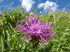 P1180304 (RRTDD) Tags: flowers italy mountains alps flower montagne val fiori fiore alpi alpino fiordaliso riale formazza valformazza rrtdd