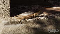 Eidechse beim Sonne baden (MathiasK. Fotografie) Tags: brown animal stone wall fotografie reptile sony lizard strip braun 75300mm mathias stein tier mauer streifen reptil eidechse karner duundich mathiask wwwmathiaskarnerat wwwduundichphoto