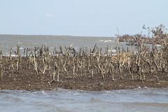 IMG_6139 (Gulf Restoration Network) Tags: isaac jimmy september mangrove oil 2012 barataria birdisland