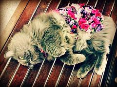 trendy cat (som300) Tags: cat housecat motorola zn5 pet cameraphone