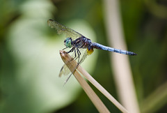 Ragged Dragonfly (BeetleBrained) Tags: macro nature closeup photoshop insect lens nikon dragonfly telephoto nikkor upclose macrophotography 55200mm cs5