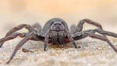 Tarantula  (Alopecosa inquilina) (Horst Beutler) Tags: spider pentax wildlife tarantula spinne k5 arachnida wolfspider araneae lycosidae tarantel alopecosa wolfsspinne pentaxart alopecosainquilina copyrighthorstbeutlerphotography