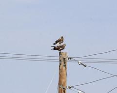Swainson Hawk s (K Fletcher) Tags: canada calgary bird hawk raptor alberta swainson
