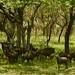 Grupo de gnus e seus filhotes