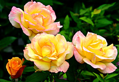 Three and a Bit (Eleanor (WHU)) Tags: pink roses yellow garden bud floralfantasy perfectpetals flowersarebeautiful worldofflowers flickrsawesomeblossoms unforgettableflowers addictedtoflowers flowersonflickr weallloveflowers flowers4you anythingnikonexceptpeople