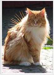 Igelkatze - hedgehog cat