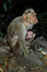 Mother and baby (gornabanja) Tags: india cute nature animal monkey nikon child d70 small young mother bigears tamil tamilnadu nadu