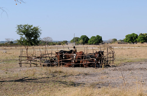 Livestock keeping on the Barotse Floodplain, Zambia. Photo by Georgina Smith, 2012.