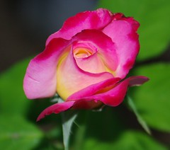 Double Delight Rose (ron.photographer) Tags: rose doubledelightrose incamarillo