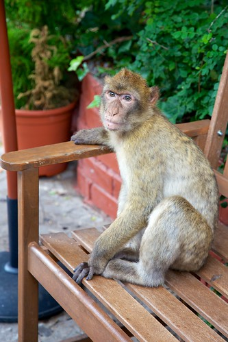 Tailless Barbary Macaques in Gibraltar