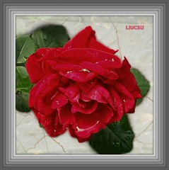 Red Rose with Diamond... (ljucsu) Tags: redflowers rosemacro finegold flickrrr rememberthatmomentlevel1 rememberthatmomentlevel2 rememberthatmomentlevel3 thelooklevel1 thelooklevel2 niceasitgets~level1 niceasitgets~level2 niceasitgets~level3 niceasitgets~level4 passionforflowerslevel1 niceasitgets~level5 niceasitgets~level7 niceasitgets~level8 niceasitgets~level6 thefloverbasket