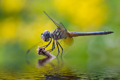 Blue Dasher on Yellow (Explore 9/30/12) (Bob Decker) Tags: macrolife