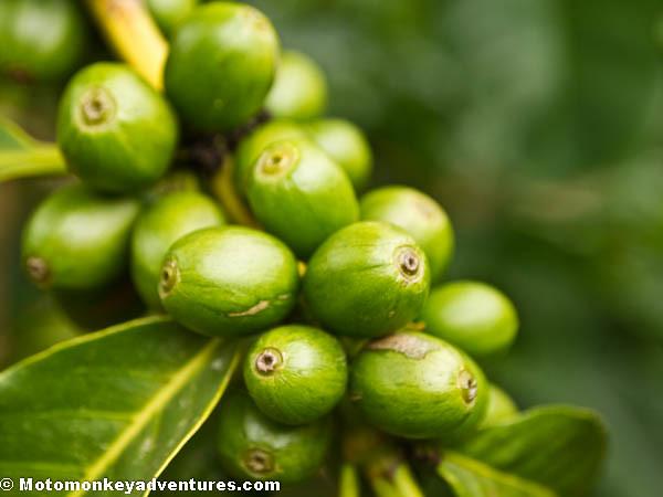 Unripe Coffee Cherries
