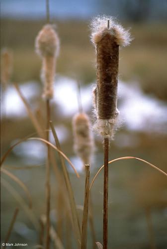 Photo - Cattails