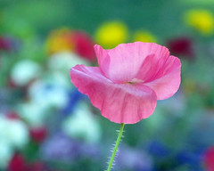 Pink for October (njchow82) Tags: pink flower nature closeup bokeh nancy chow poppy sensational simplyflowers beautifulexpression octoberisbreastcancerawarenessmonth canonpowershorsx30is
