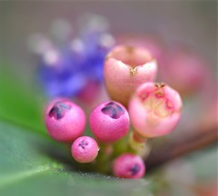 Only In My Dreams......... (Anna Kwa) Tags: macro art singapore botanicalgarden memecyloncaeruleum nipiskulit bluestrawberryflowers