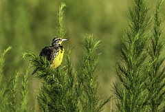 Meadowlark  (Adult) (stan hope Off - death of dear friend!) Tags: morning usa nature birds sunrise nikon wildlife d2x topaz floridawildlife easternmeadowlark yellowbird specanimal highlandscounty nikssoftware loridaflorida