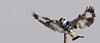 PKF - Spread wings (ramsfotobites - my experiments with light) Tags: bif pied kingfisher available light directional south india spread wings 2012 70300mm d90 nikon bird birding birds flickr inflight indian landing perch photowalk ramakrishnanrajamani ramsfotobites tamilnadu piedkingfisher availablelight directionallight southindia spreadwings kelambakkam cerylerudis wild nature natural avian avifauna birdphotography avianfauna fauna untamed nikkor animal planet animalplanet