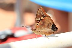 Butterfly or Moth? (pkingDesign) Tags: brazil butterfly falls iguazu iguaçu