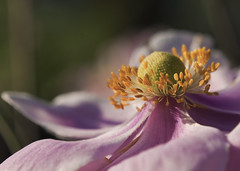 Japanese Anemone (Bear Clause) Tags: pink orange plant flower green up japanese petals nikon close anemone stems d90