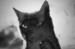 the cat (battista ferrero) Tags: black cat felino gatto nero micio thecat battistaferrero