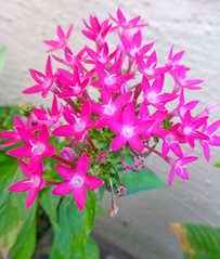 Ixora Chinensis 442 (santoshat60) Tags: pink flowers red small