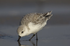 All is well (Lisa Franceski) Tags: fall beach nature wildlife migration sanderling naturalhabitat calidrisalba sigma120400 canont2i lisafranceski