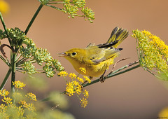 Yellow Warbler (Jerry Ting) Tags: california fremont yellowwarbler coyotehillsregionalpark ebparksok