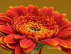 Orange Gerbera (abrideu) Tags: flower macro canon ngc gerbera raynoxdcr250 abrideu fleursetpaysages