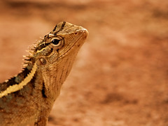 Lakeside Lizard (sphaisell) Tags: india dindigul tamilnadu lizard wildlife reptile hello nature