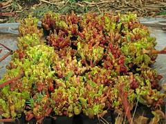 S. purpurea venosa Tattnall Co, GA (meizzwang) Tags: sarracenia purpurea venosa tattnallco ga county purple pitcher plant carnivorous bog insect eating