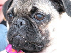 Beach Pug Puppie (geniebeme) Tags: pug