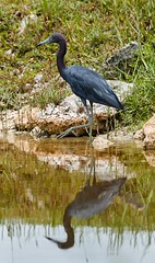 Jul 29 20166114 (Lake Worth) Tags: animal animals bird birdwatcher birds canonef500mmf4lisiiusm canoneos1dxmarkii everglades feathers florida nature outdoor southflorida waterbirds wetlands wildlife wing