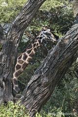 Giraffa Masai, Maasai Giraffe, Giraffa camelopardalis tippelskirchi (paolo.gislimberti) Tags: tanzania tarangire mammals mammiferi erbivori herbivores animaliambientati animalsintheirenvironments bush mimetismo mimicry