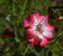 That Blooming Rose (swong95765) Tags: rose flower bush plant pretty beauty detail bokeh