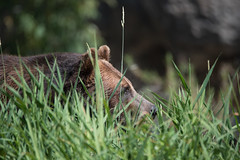 Grizzly in the grass (jeff's pixels) Tags: grizzly bear brown mammal nature animal fur teddy cute nikon d750 tamron 150600