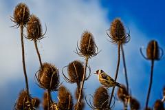 Goldfinch on teasel (stevehimages) Tags: steveh stevehimages steve grandpas den 2016 goldfinch teasel warden wowzers higgins bird twycross