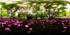 26050595504_8db209f91f_o (Duncan_Sky) Tags: cyberlink powerdvd 360 libertypark saraspaedy sedalia bush degrees flower missouri petals plant ricoh rose shrub spherical theta theta360 thetas underneath
