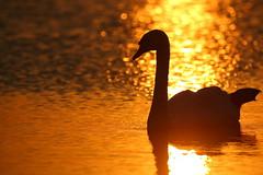 IMG_8425 (Yorkshire Pics) Tags: sunset sunsetsoverwater staidansnaturepark silhouette silhouettes swan swans swansilhouette wildlife nature birds wildfowl 1808 18082016 august leeds