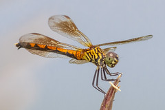 Female Seaside Dragonlet (tresed47) Tags: 2016 201608aug 20160808bombayhookbirds bombayhook canon7d content delaware dragonflies dragonflyunidentified folder insects peterscamera petersphotos places takenby us