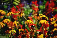 Summer Color (Hi-Fi Fotos) Tags: summer flowers bed color splash vibrant flora plants nature yellow blackeyedsusan bloom outdoors nikon d5000 bokeh hififotos hallewell