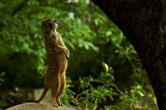 Meerkat Standing (Wijnand Kroes Photography) Tags: meerkat nature zoo burgers sony a77ii green watching looking standing