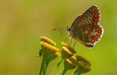 Brown Argus (Aricia agestis), Bruin blauwtje ((Ruud) Reddingius) Tags: bruinblauwtje ariciaagestis blauwtje blue brownargus vlinder butterfly papillon boerenwormkruid tansy