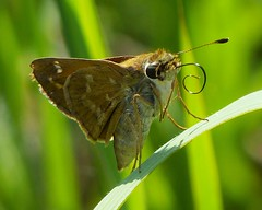 Sachem (Atalopedes campestris) (Nature In a Snap) Tags: crosswicks creek greenway province line road access plumstead township 2016 nature wildlife sachem atalopedes campestris skipper butterfly butterflying butterflier winged nj new jersey