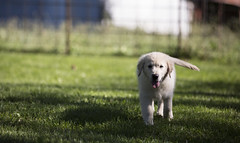 Hank9 (TaylorB90) Tags: taylor bennett taylorbennett canon 5d 5d3 7020028isii 70200 28 is ii 135l 135mm sharp golden retriever puppy goldenretriever goldenretrieverpuppy hank hoyt play cute animals puppies dogs farm